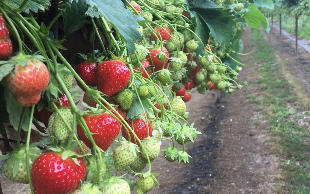 PYO: Strawberries and gooseberries now open