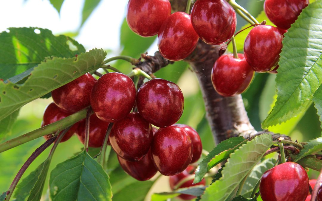 PYO Cherries – Saturday 6th July