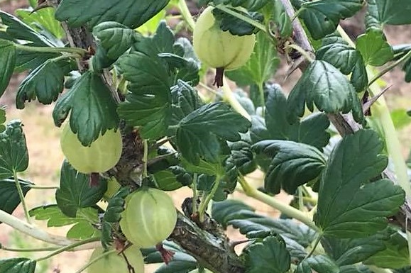 Why not PYO gooseberries at the farm?
