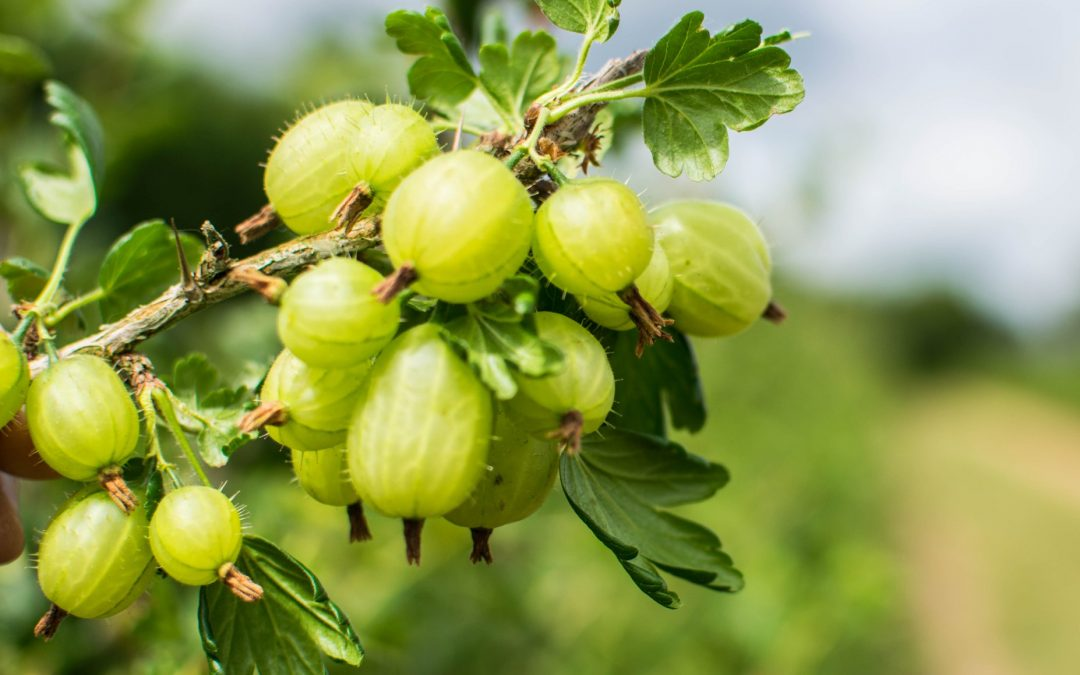 In praise of the humble gooseberry