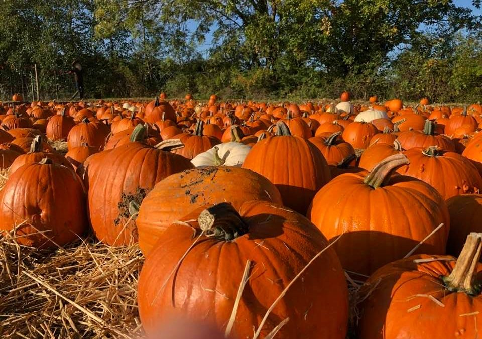 This weekend at the farm – pumpkins galore & more! 🎃🎃