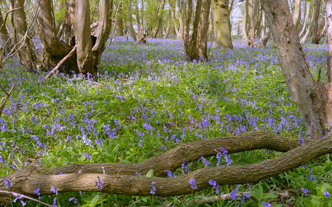 The bluebells are out in Cammas Wood! See them on our Easter Trail or just take a walk around the farm (Pre-booking required).